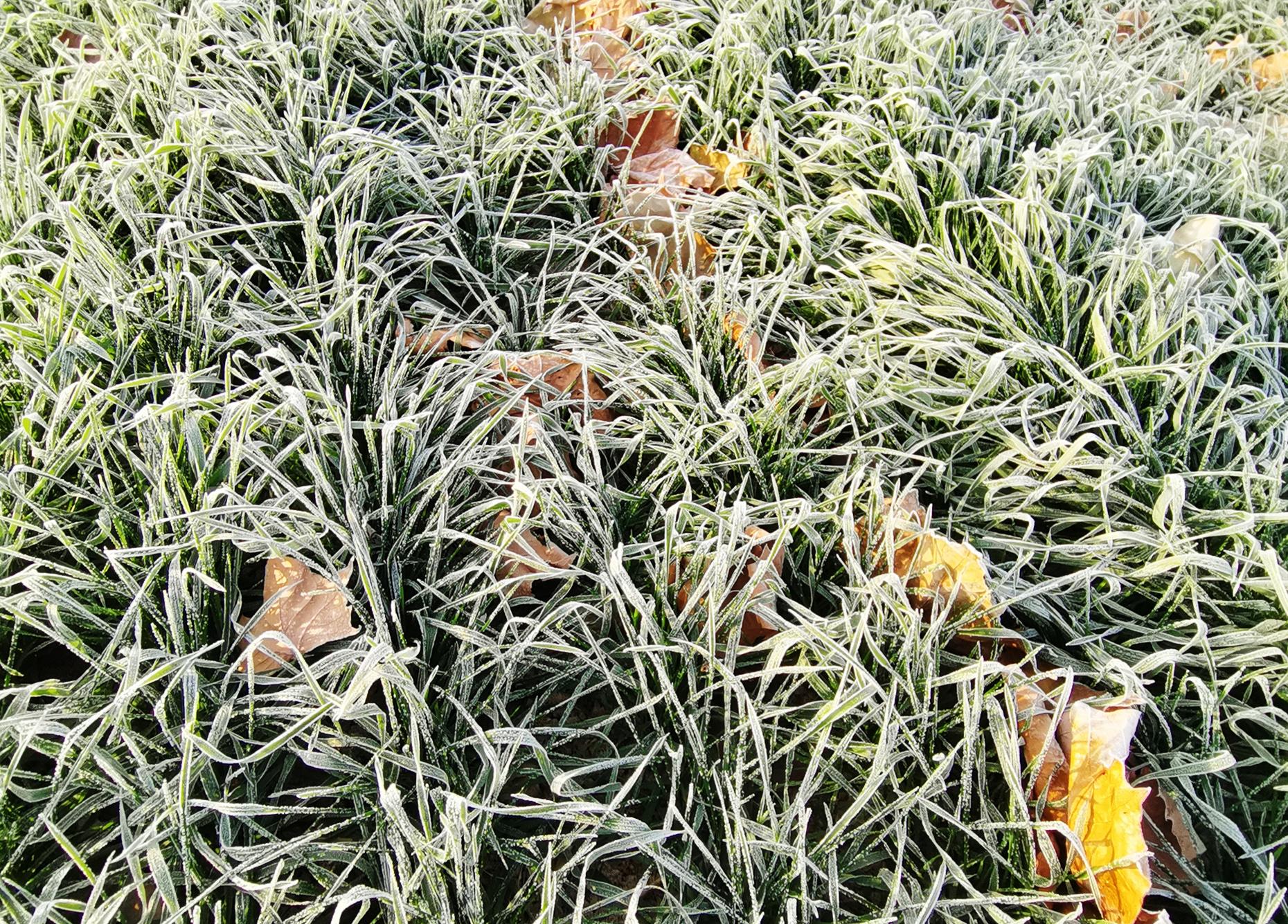 植被结霜看似白发